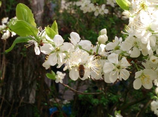 2013-04-28 Biene-am-Zwetschgenbaum