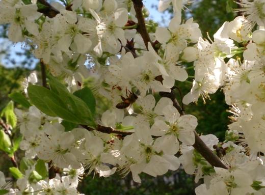 2013-04-28 Biene-am-Zwetschgenbaum2